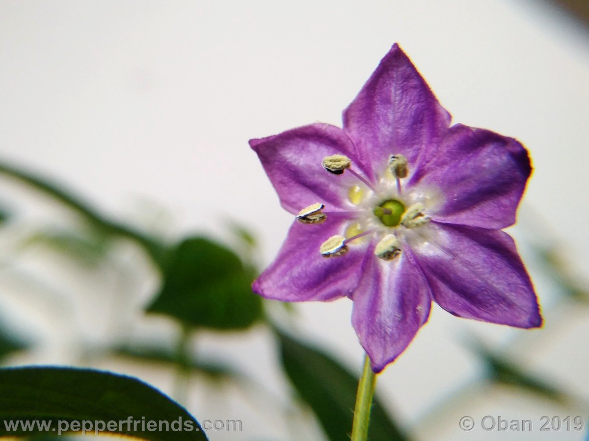 rocopica-ob29-x-rocoto-big-brown-f1-ob03_001_fiore_02.jpg