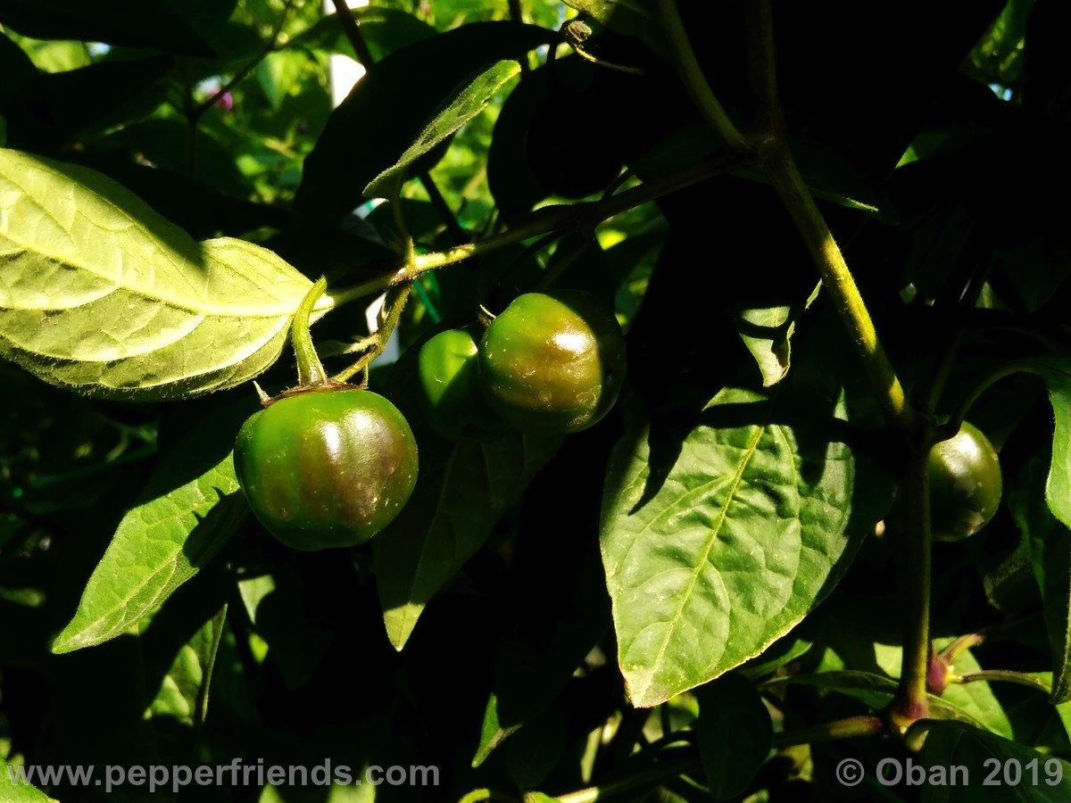rocopica-ob29-x-rocoto-big-brown-f1-ob03_001_frutto_16.jpg