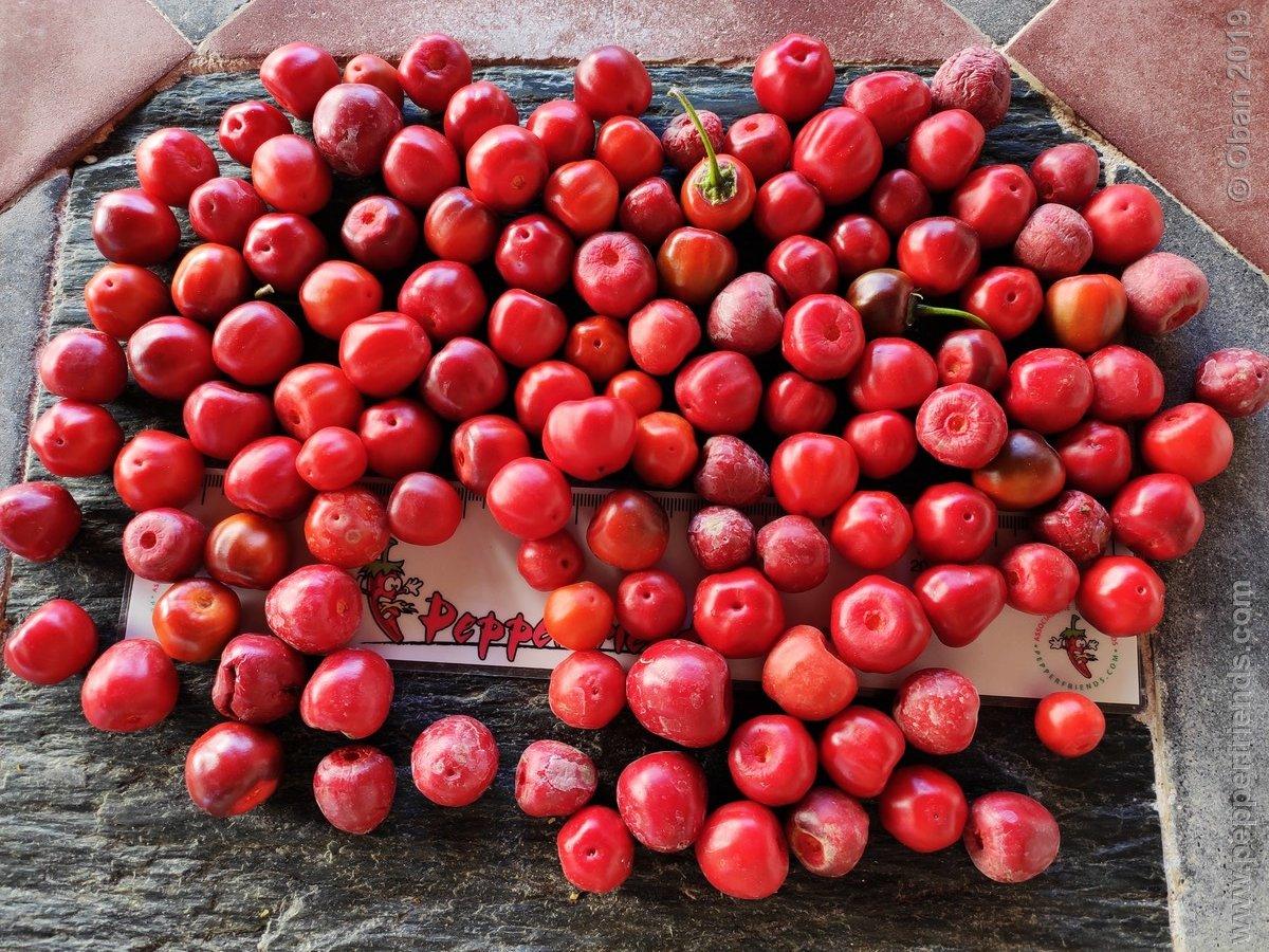 rocopica-ob29-x-rocoto-big-brown-f1-ob03_001_frutto_26.jpg