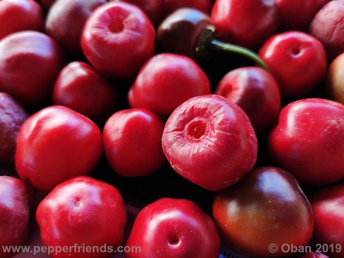 rocopica-ob29-x-rocoto-big-brown-f1-ob03_001_frutto_29.jpg
