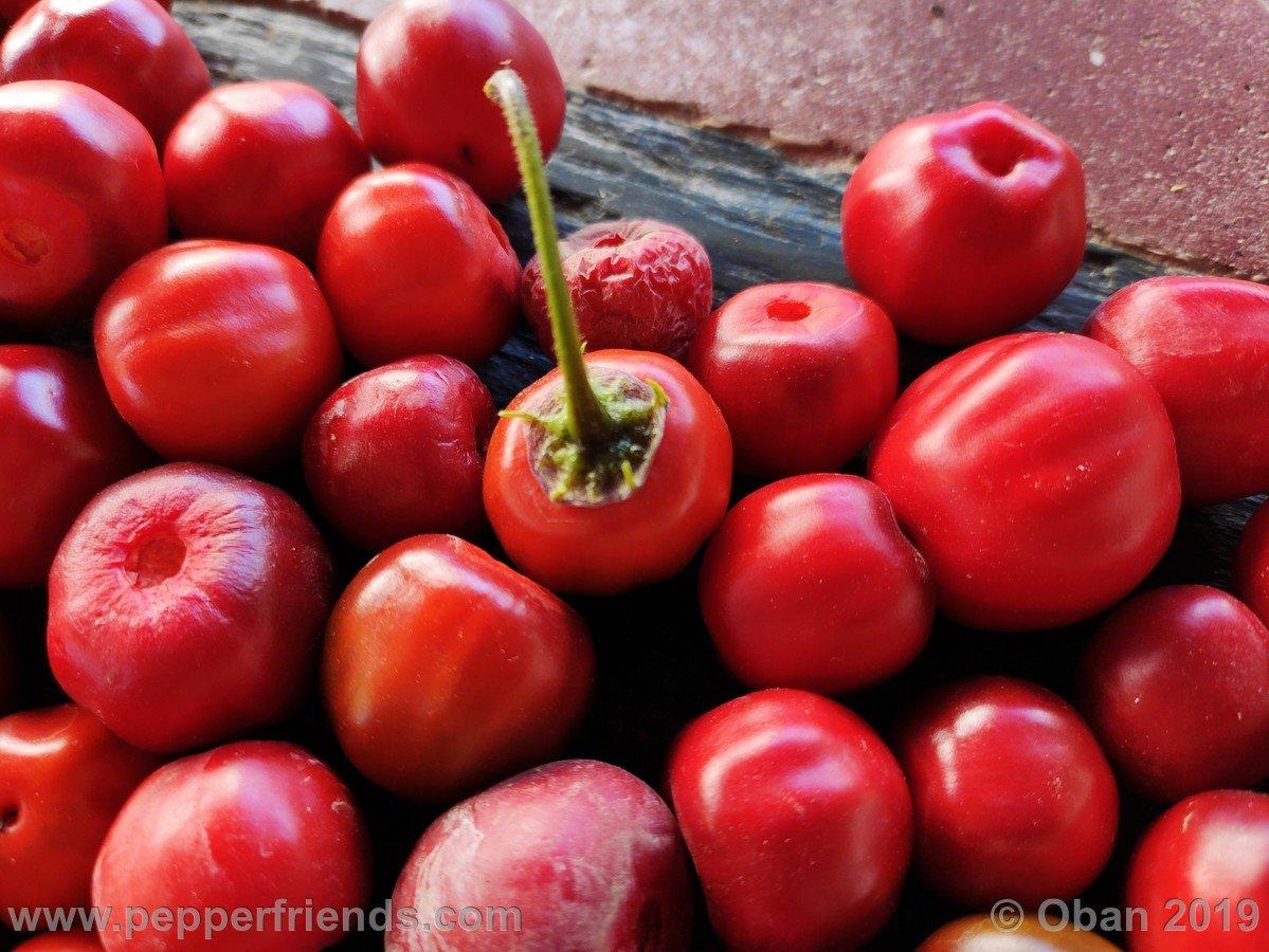 rocopica-ob29-x-rocoto-big-brown-f1-ob03_001_frutto_30.jpg
