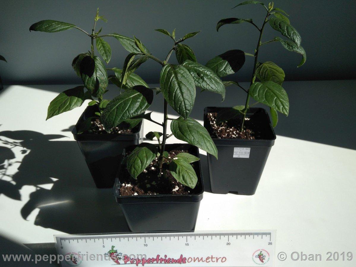 rocopica-ob29-x-rocoto-big-brown-f1-ob03_001_pianta_08.jpg