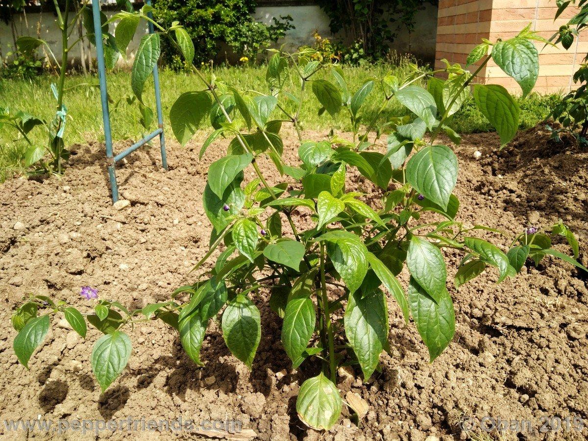 rocopica-ob29-x-rocoto-big-brown-f1-ob03_001_pianta_13.jpg