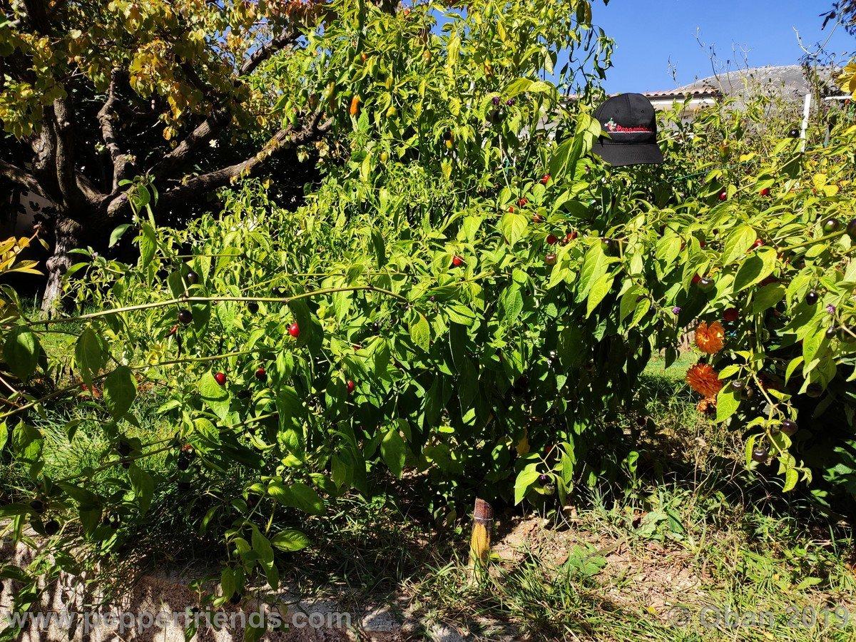 rocopica-ob29-x-rocoto-big-brown-f1-ob03_001_pianta_18.jpg