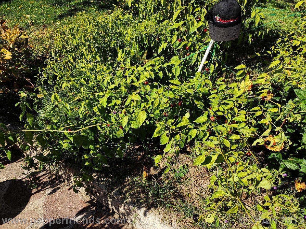 rocopica-ob29-x-rocoto-big-brown-f1-ob03_001_pianta_19.jpg