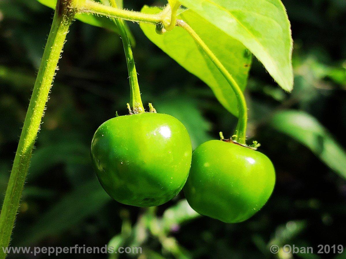 rocoto-big-brown-x-rocopica-ob03-f1-ob01_001_frutto_11.jpg