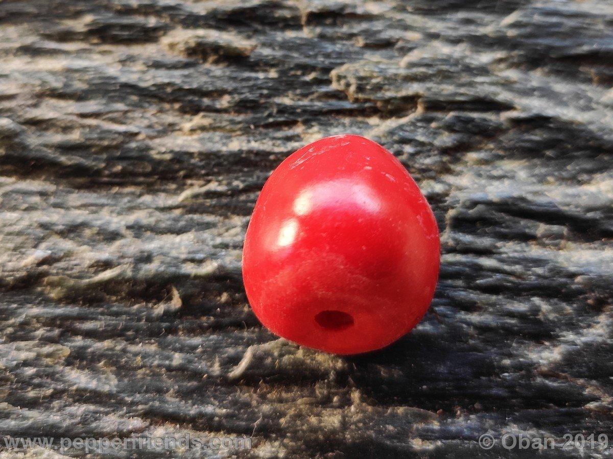 rocoto-big-brown-x-rocopica-ob03-f1-ob02_001_frutto_11.jpg