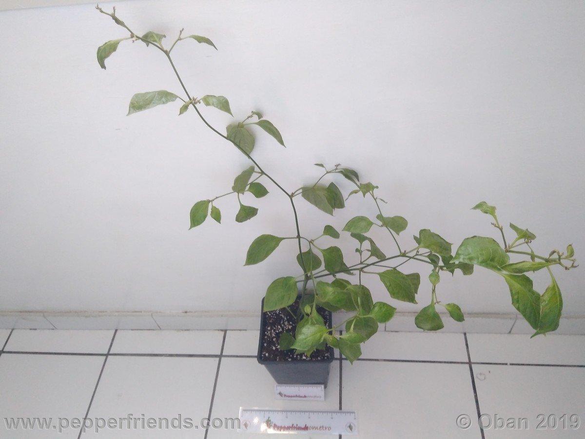 rocoto-big-brown-x-rocopica-ob03-f1-ob02_001_pianta_10.jpg