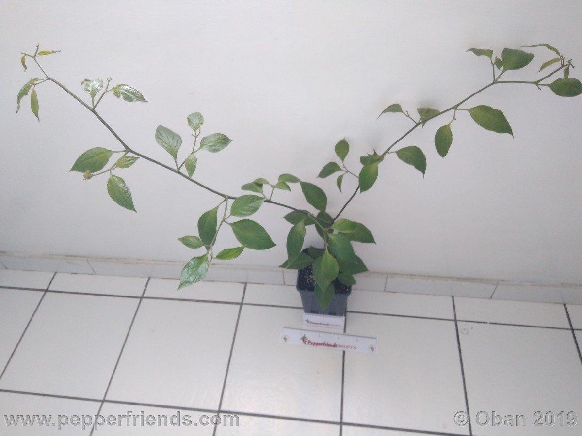 rocoto-big-brown-x-rocopica-ob03-f1-ob03_001_pianta_07.jpg