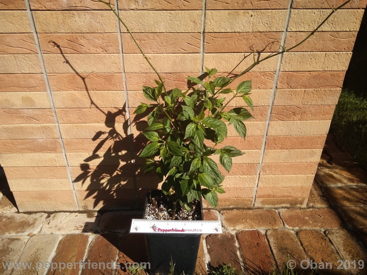 rocoto-big-brown-x-rocopica-ob03-f1-ob03_001_pianta_09.jpg