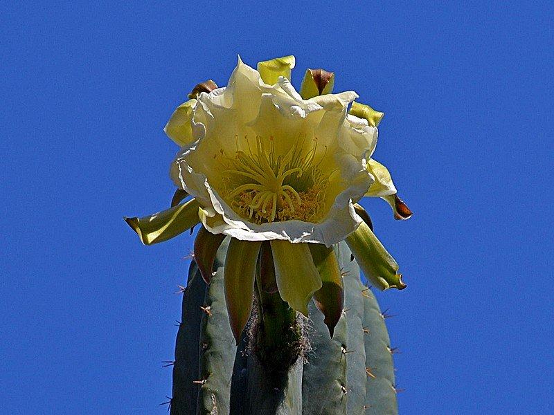 A Cactacea Fiorone.jpg