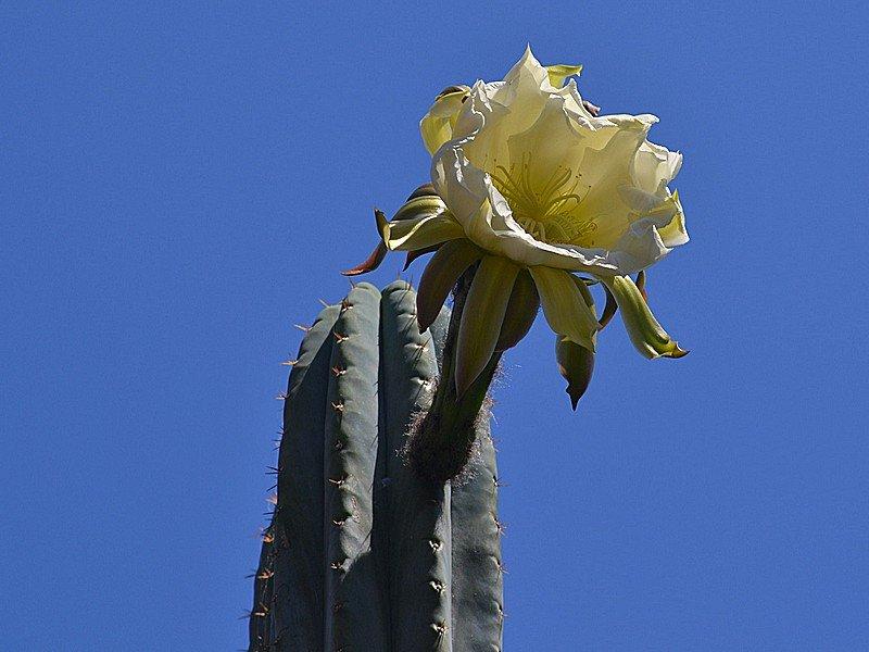 A Cactacea Fiorone - B.jpg