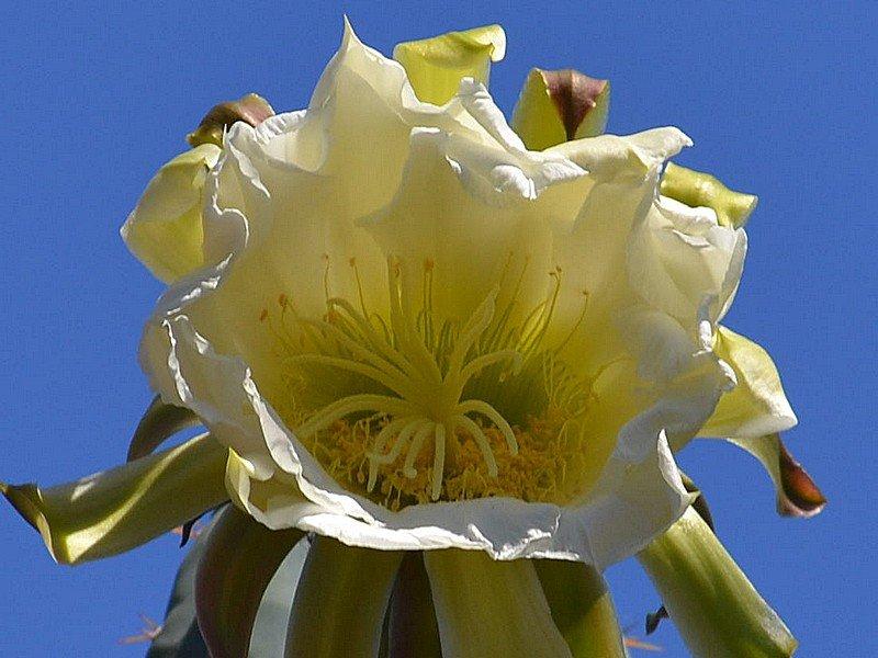 A Cactacea Fiorone - C.jpg