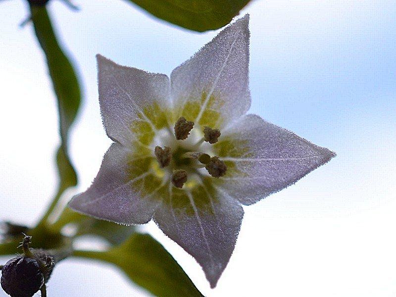 C.Eximium Fiore Chiaro 1.jpg