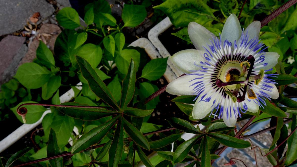 543251629_2passiflora.jpg.7e243f2903682cb28f90bef3d933e318.jpg