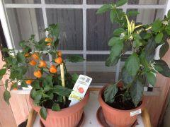 Habanero Orange e Masquerade
