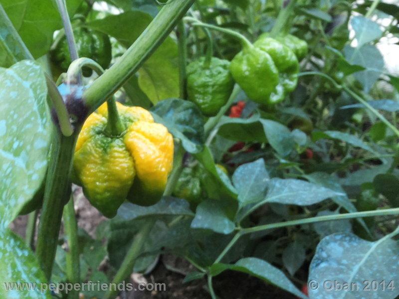 tsmorouga-yellow_004_pianta_12.jpg