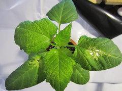 edema  / enazioni su Tomatillo (Physalis philadelphica)
