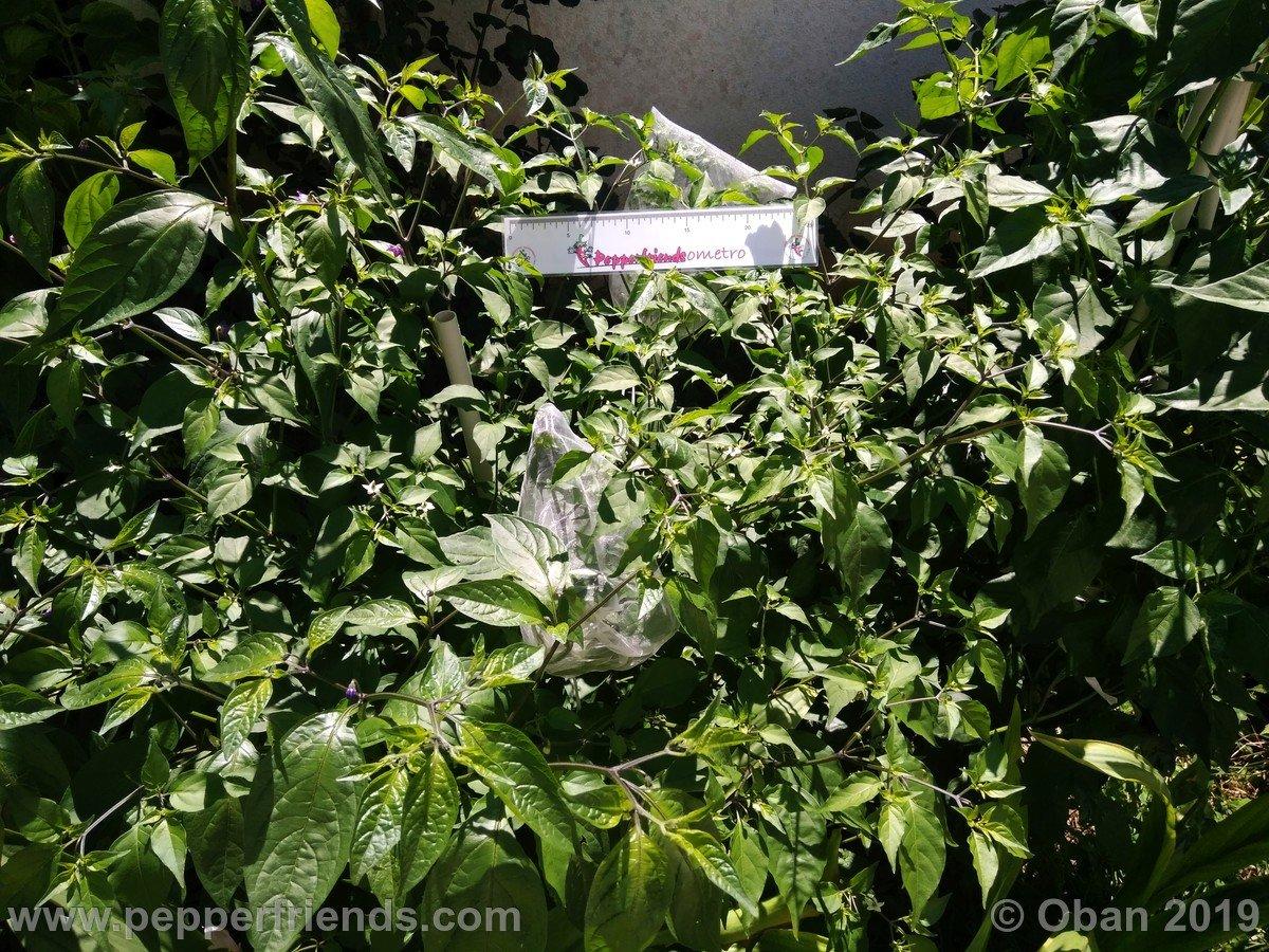 chiltepin-cappuccino-x-bhut-jolokia-mulatto-(f1)_001_pianta_10.jpg