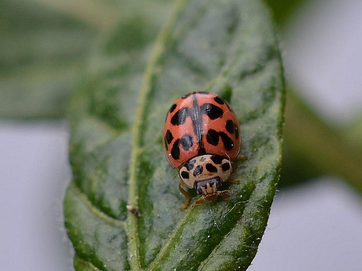 A Coccinella A.jpg